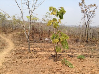 Some vegetation showing signs of recovery after a bush fire in rural Lusaka, Zambia, Africa.
