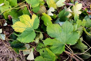 Hop vine leaves trailing