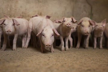 Group of little pigs waiting for food in the pen. Shallow depth of field, focus is on the pig in the middle.