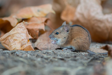 Striped field mouse in autumn