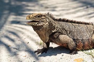 Wild Iguana, Cuba