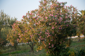 Wood in Greece in Sithonia in the village of Nikiti blossoms pink flowers