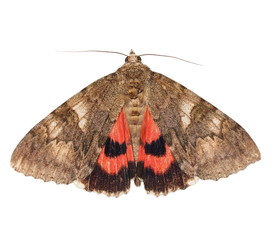 moth, minsmere crimson underwing, catocala coniuncta , isolated on white background, with clipping path