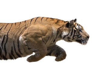 Male wild tiger charging against white background