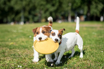 Two Jack Russell Terrier dogs standing side by side and holding