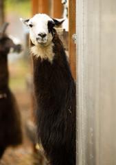 Domestic Llama Looking at Camera Farm Livestock Animals Alpaca