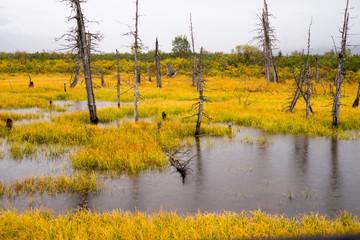 Dead Trees Standing Watery Wet Marsh Wetland Turnagain Arm Alask