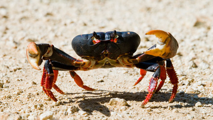 Land crab spread its claws. Cuba. An excellent illustration. Unusual angle.