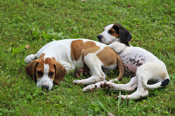 Hound Dog Puppies Laying in the Grass