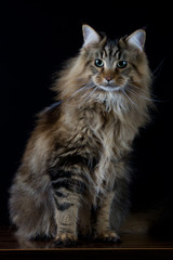 Brown longhair cat