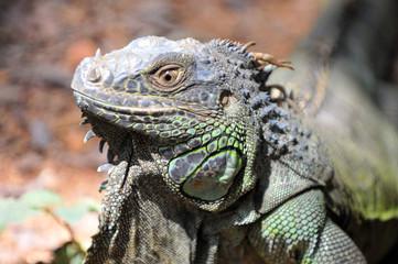 Close-up of green Iguana