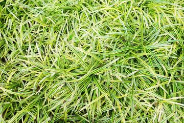 clump of grass in garden
