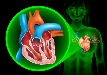 Heartbeat diagram in human