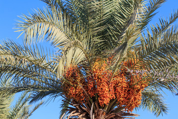 Palm tree with not ripe dates on the blue sky background, summer