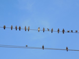Pigeons on power line cable