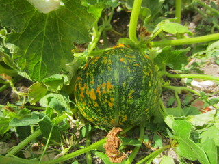 maturing pumpkin on vine