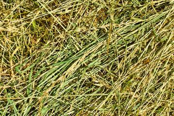 dry grass closeup