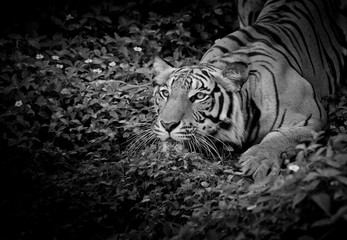 Fototapete - Black and White Tiger looking his prey and ready to catch it.