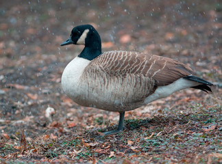 Canada goose in snowy day