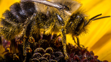 Bumble Bee on Sunflower with Bright Yellow Pollen