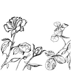 Hand drawn composition of roses, buds and leafs
