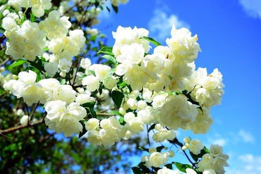 Philadelphus coronarius jasmine bush blossom on summer