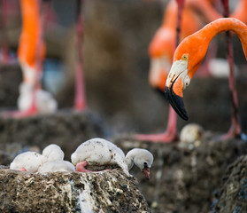 Caribbean flamingo on a nest with chicks. Cuba. An excellent illustration.