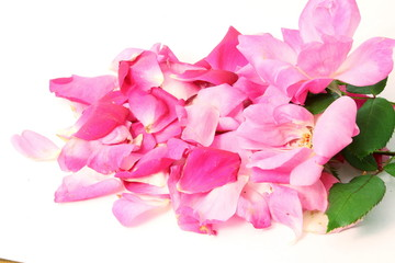 pink rose flower petals in white background