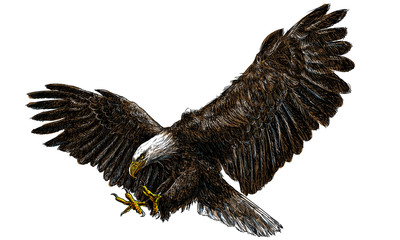 Bald eagle swoop landing draw and paint color on white background.