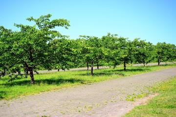Vilnius sakura garden in center on sunny summer day