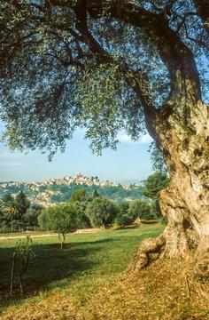 Alter Olivenbaum in Cagnes-sur-Mer