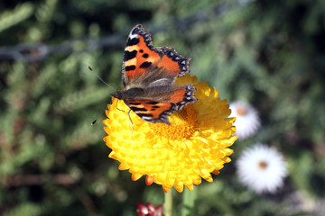 Red Admiral butterfly insect feeding on the pollen of a straw flower plant