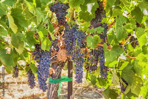 Утехи в винограднике