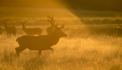 Wall Mural - Red Deer Stag at dawn