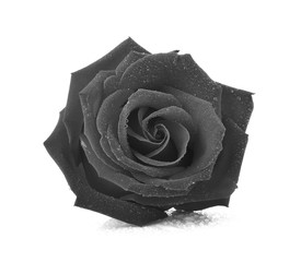 Black rose isolated on white background.