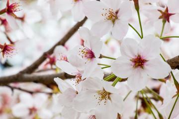 Beautiful pink cherry blossom (Sakura) flower at full bloom in Japan
