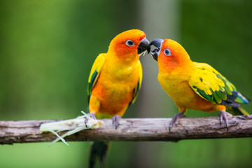 Colorful yellow parrot, Sun Conure