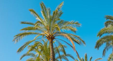 Palm tree in Salou, Spain, Europe