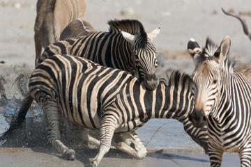 zebra bites aggressor