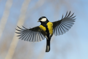 Front view of Flying Great Tit against autumn sky background