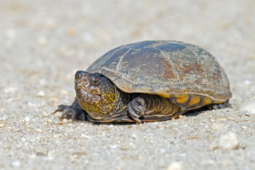 Snapping Turtle on a dirt road.