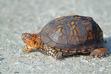 Eastern Box Turtle on Dirt Road