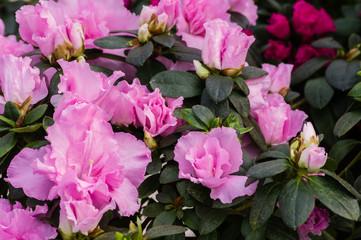 Azalea bush with pink flowers