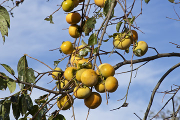 Japanese persimmon tree with fruits