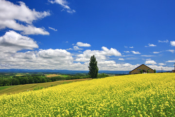 Panoramic view of mustard field and blue sky with clouds in Biei town, Hokkaido