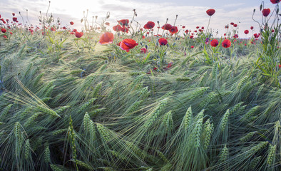 Wall Mural - Wheat and poppies