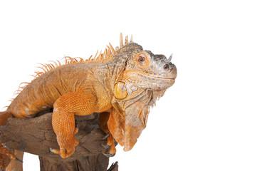 Portrait of iguana close-up..
