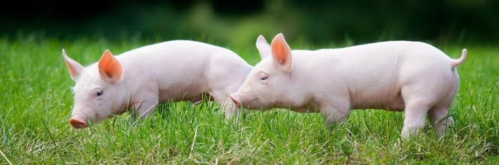 Zwei junge Ferkel im Gras, breites Bildformat