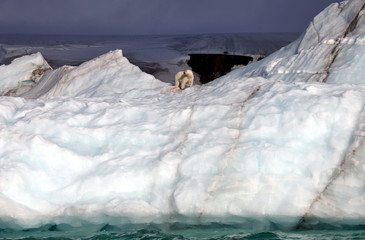 Polar bear eating his prey on iceberg