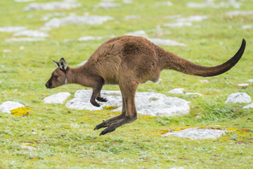 Kangaroo portrait while jumping on grass